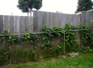 Our blackberry fence